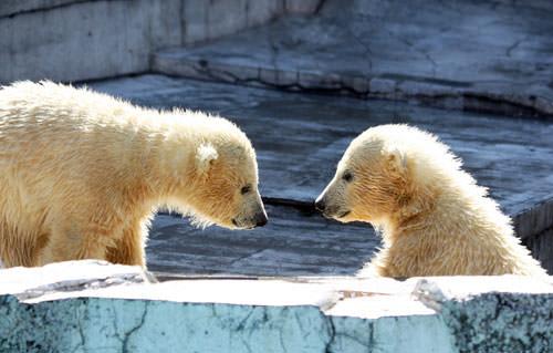可愛的北極熊雙胞胎寶寶